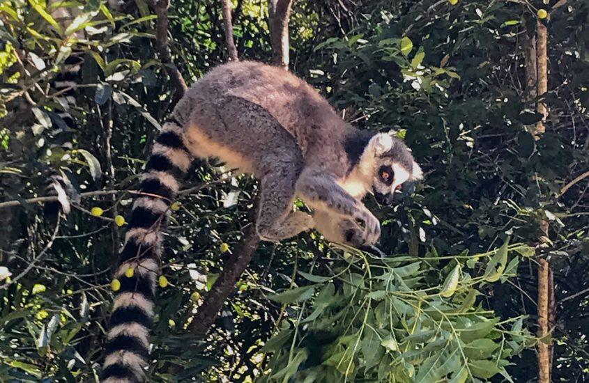 Madagaskar | Nationaal Park Isalo (King Julian gespot!)