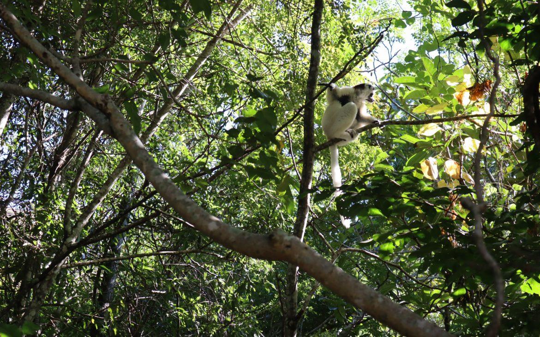 Witte lemur