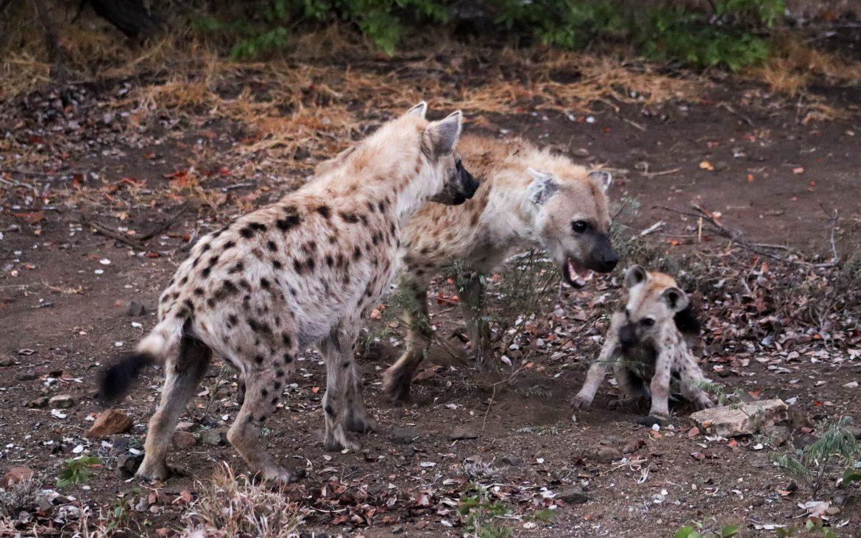 Wilden honden in Krugerpark